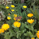 Northern Wall Brown / Краеглазка петербургская,Буроглазка малая,Краеглазка лесная