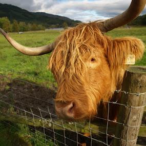 Hairy cow by Jakub Juszyński - Animals Other Mammals ( highland, hairy, scotland, coo, fence, sky, grass, milk, funny, cow, mammal )