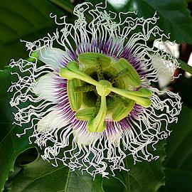 by Carmen Quesada - Flowers Single Flower ( single, bloom, passion fruit, floral, flower,  )