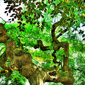 Very old tree in Italy by Jim Antonicello - Nature Up Close Trees & Bushes ( tree, green, branches )