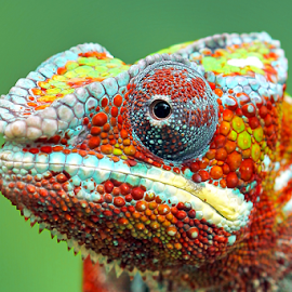 Chameleon closeup by Kurit Afsheen - Animals Reptiles ( colorful, outdoor, beautiful, reptile, chameleon, closeup, animal )