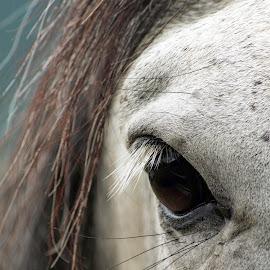 Marty by Giselle Pierce - Animals Horses ( eyeball eye, horses, mane, horse, gelding, eye )
