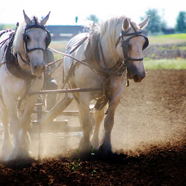 Work Horse by Anna Tripodi - Animals Horses ( amish, worker's, beautiful, horse )