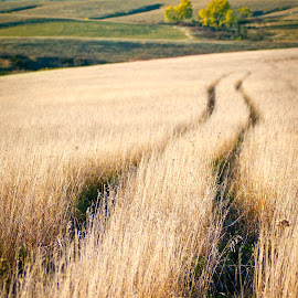 Wagon Ruts by Gayle Mittan - Landscapes Prairies, Meadows & Fields ( grasses, field, grass, wagon trail, evening, nebraska, prairie, golden, spring creek, pioneers, historic )