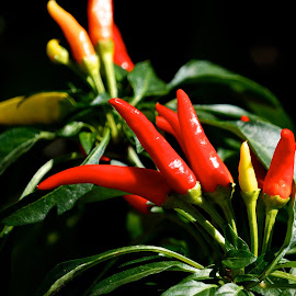Peppers by Dawn Friend - Food & Drink Fruits & Vegetables ( peppers, vegetables,  )