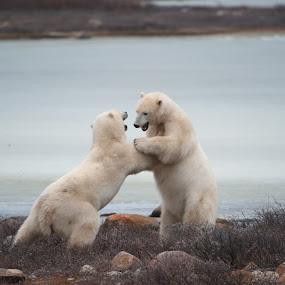 Polar Surge by Clement Stevens - Animals Other ( polar, bear, surge, fight, ice, spar, polar bear,  )