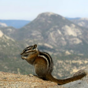 Chipmunk :D by Kaylana Fief - Animals Other Mammals ( chipmunk )