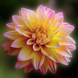 Yellow Torch Dahlia.jpg