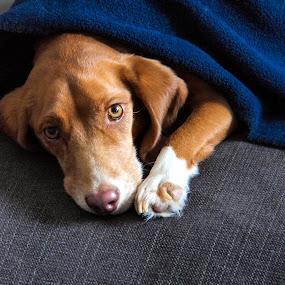 Bonnie by John  Pemberton - Animals - Dogs Portraits ( sweet, cuddly, dog portrait, cute, dog,  )