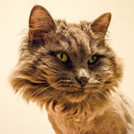 Miss Kitti  by Deborah Lucia - Animals - Cats Portraits ( kitten, cat, feline )