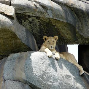 lionness crop.jpg