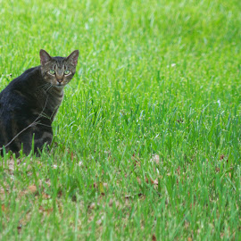 Stop FOLLOWING me! by Kirk Barnes - Animals - Cats Portraits ( outdoors, cat, feral tabby, hunting, portrait, pickle,  )