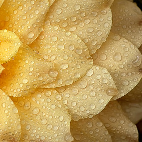 by Bharat Dudeja - Nature Up Close Flowers - 2011-2013 ( macro, nature, petals, water droplets, dahlia, flower )