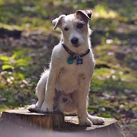 Fanda by Jiri Cetkovsky - Animals - Dogs Portraits ( parson, terrier, fanda, dog, portrait, russell )