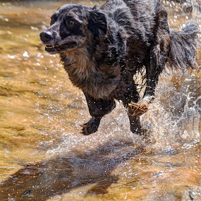 YAY!!! WATEEEEEEEER!!! by Kristen O'Brian - Animals - Dogs Running ( water, sand, cattahoula, creek, puppy, irish wolfhound, dog )