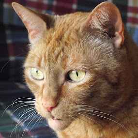 Lost In Thought by Kate Vartelas - Animals - Cats Portraits ( orange, lost in though, wide eyed, intensity, whiskers )