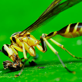 Today's Lunch by Pak Lang - Animals Insects & Spiders ( macro, insect,  )