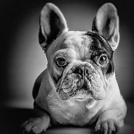 Bodyguard by Adriano Ferdinandi - Animals - Dogs Portraits