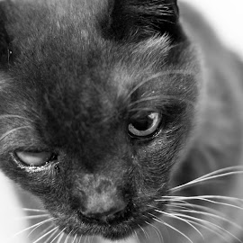 Staunch and firm by 錦 吳 - Animals - Cats Portraits ( old, cat, black and white, strong, staunch, firm, eye )