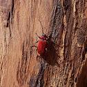 Welsh Oak Longhorn Beetle