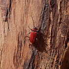 Welsh Oak Longhorn Beetle