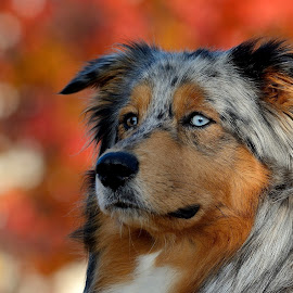 Flame, the aussie by Rick Letteboer - Animals - Dogs Portraits ( colorful, background, outdoors, australian shepherd, dog portraits, dog )