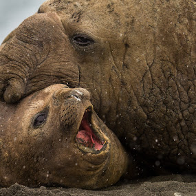 Southern Elephant Seals by Steve Bulford - Animals Other Mammals ( sand, antarctic, elephant seals, beach, gold harbour, love, seals, blubber, cold, steve bulford, happy, snow, south georgia, big, nose, mate, large,  )
