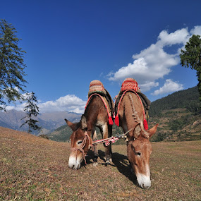 Common goal - different directions by Prashanth UC - Landscapes Mountains & Hills ( mule, horse )