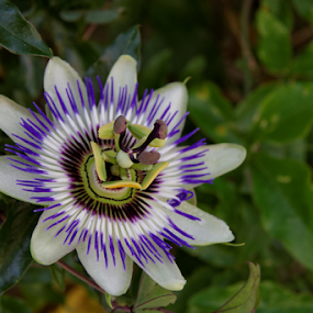 Passion by Dominic Jacob - Flowers Single Flower ( fleur, passionflower, passiflora, fleur de la passion, passion flower, passion,  )