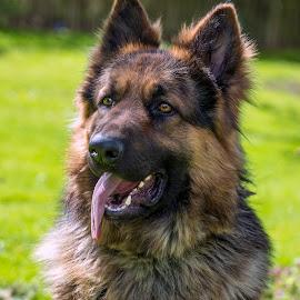 Big Guy by Darrell Evans - Animals - Dogs Portraits ( canine, hound, ears, fur, alsatian, german shepherd, dog, teeth,  )