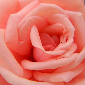 rose flower by Divnoor Buttar - Nature Up Close Flowers - 2011-2013 ( rose, botany, beautiful, plants, flower )
