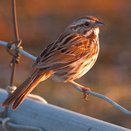 Song Sparrow by Luc Bussieres - Animals Birds ( oiseau, bruant chanteur, contenu, nature, printemps, clôture, baie-du-febvre, type, oiseaux, saison, localisation, bruant )