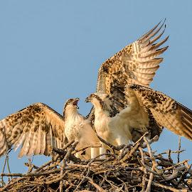 Late afternoon contest.... by Ioannis Alexander - Uncategorized All Uncategorized ( nest life, bird of prey, osprey )