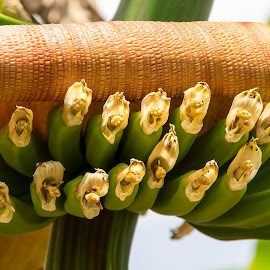 Bananas to be by Max Molenaar - Nature Up Close Other plants