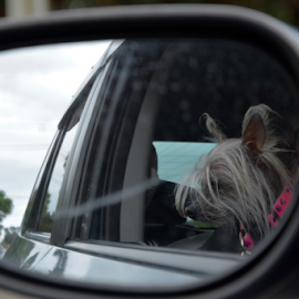 look down by Rachel Urlich - Animals - Dogs Portraits ( canine, car, mirror, happy, pet, dog )