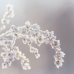 Frosted Grass by Jill Beim - Nature Up Close Leaves & Grasses ( grass, frost, nature up close, leaves )