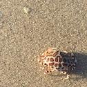 Calico box crab