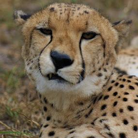 Unhappy Cheetah by Jason C Robinson - Animals Lions, Tigers & Big Cats ( close up, africa, closeup, spots, cheetah, big cat )