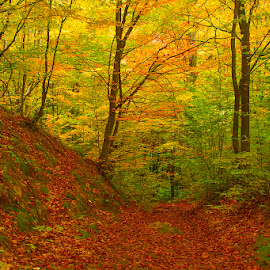 Autumn forest by Costin Mugurel - Landscapes Forests ( nature, autumn, fall, trees, forest )