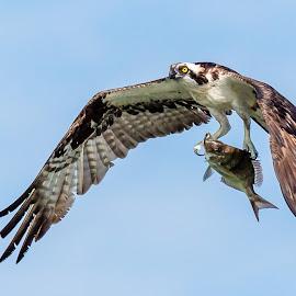 Osprey Carrying Fish by Carl Albro - Animals Birds ( flying, fish, hawks and eagles, bif, osprey )