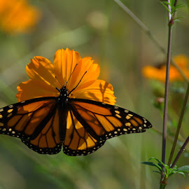 Late Season Beauty by Larry Bidwell - Animals Insects & Spiders
