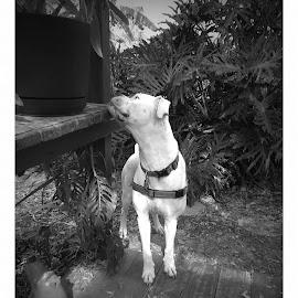 Jax by Tricia Kight - Animals - Dogs Portraits ( dog, jax )