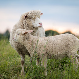 Mother's Love by Franz Engels - Animals Other Mammals ( secureness, animals, sheep )