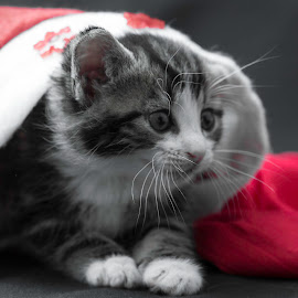 Christmashat. by Susan Pretorius - Animals - Cats Kittens