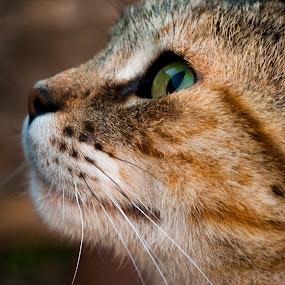 Muñeca by Gato Perro Tronchatoro Krois - Novices Only Pets ( gato, macro, cat, cat face, gatito )