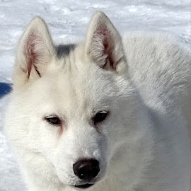 White husky in snow by Patrizia Emiliani - Animals - Dogs Portraits ( snow, white, husky )