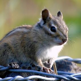 LIL MUNK by Cynthia Dodd - Novices Only Wildlife ( animals, nature, creature, chipmunk, wildlife,  )