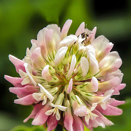 Clover and Friend by Joan Sharp - Flowers Flowers in the Wild ( green, bug, pink, green background, flowers, clover )