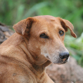 Indifferent by Vivek Chethan Muliya - Animals - Dogs Portraits ( country, indif, brown, dog, nice )