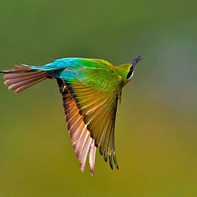 BLUETAILED BEE-EATER by Mohan Munivenkatappa - Animals Birds